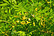 Yellow Flowers Of Acacia On The Background Of Green Leaves stock photography