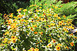 Yellow Flowers Growing In The Garden In The Sunlight stock photo