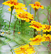 Fantasy Yellow Flowers Near Water Surface With Ripples stock photography