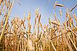 Yellow Grain Ready For Harvest Growing In A Farm Field stock photography
