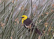 Yellow Headed Blackbird In Saskatchewan Canada Reed stock photo