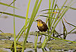 Yellow Headed BlackBird In Saskatchewan Swamp Marsh stock image