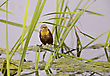 Yellow Headed BlackBird In Saskatchewan Swamp Marsh stock photo