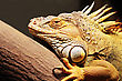 Yellow Iguana Sitting On The Tree stock photography