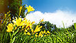 Yellow Lily Flowers On The Meadow, Panoramic Natural Backgrounds stock image