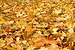 Yellow Maple Leaves Are In Autumn On The Ground stock photo