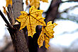 Yellow Maple Leaves In Autumn Park. stock photo