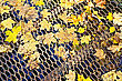 Yellow Maple Leaves On A Lattice Bridge stock photo
