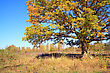 Yellow Oak On Autumn Field stock image