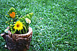 Yellow And Orange Daisies,white Lantana Flowers In Vase On Green Grass. stock photo