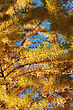 Yellow Pine On The Blue Sky, Autumn 2010 stock photography