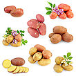 Yellow, Pink And Red Potatoes, White And Purple Flowers, Green Leaves stock photography