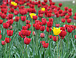 Yellow And Red Tulip Field In The Spring Time stock photography
