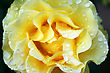 Yellow Rose With Drops Close Up Picture. stock photo