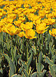 Yellow Tulip Field stock image