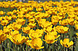 Yellow Tulip Field stock photo