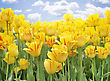 Yellow Tulips Against A Blue Sky stock image