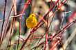Yellow Warbler Standing On A Branch In Hdr