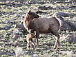 Yellowstone National Park Female Elk And Young Calf Baby stock image