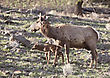 Yellowstonenationalpark Yellowstone National Park Female Elk And Young Calf Baby stock image