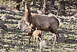Nationalpark Yellowstone National Park Female Elk And Young Calf Baby stock photo