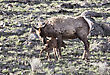 Yellowstonenationalpark Yellowstone National Park Female Elk And Young Calf Baby stock photo