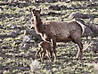 Yellowstone National Park Female Elk And Young Calf Baby stock photography