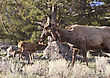 Yellowstone National Park Female Elk And Young Calf Baby stock photo