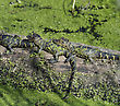 Crocodile Young Alligators Basking In The Sunlight stock photo