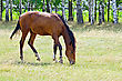 Young Bay Horse Grazing In A Pasture On The Background Of Birch Trees stock photography