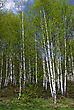 Young Birch Forest In Springtime Sunny Day. stock image