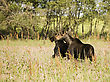 Young Bull Moose In Field Saskatchewan Canada stock photography