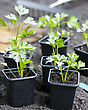 Young Celeriac Plants 'Giant Prague' In Pots Ready For Planting Out In The Vegetable Garden, Having Been Hardened Off From The Greenhouse stock photo