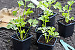 Young Celeriac Plants In Pots, Ready For Planting Out In The Vegetable Garden stock image