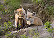 Young Fox Kit Kits Playing Saskatchewan Canada stock photo
