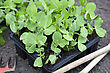Young Garden Pea Plants Ready For Planting Out In The Garden stock image