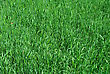 Young Green Grass stock photography