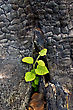 Young Green Sapling Growing Out Of Charred Stumps stock photography
