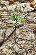 Young Green Sprout Sprouting In Stone stock photo