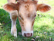 Farm Animals Young It Is Brown A White Calf It Is Grazed On A Meadow In The Autumn Afternoon stock image