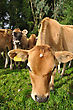 Young Jersey Calf Distorted By Wide Angle Lens stock photo