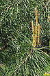 Young Pine Twig At The Beginning Of The Summer stock image