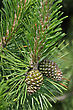 Young Pine Twig With Small Cones At The Beginning Of The Summer stock photo