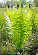 Young Plant Ostrich Fern In The Spring stock photography