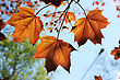 Young Red Maple Leaves In The Spring, Backlight stock photo