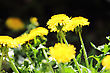 Young Sprout Of Yellow Dandelion On Dark Of-focus Background. Close-up stock image