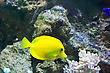 Zebrasoma Yellow Tang Fish In Aquarium stock photo
